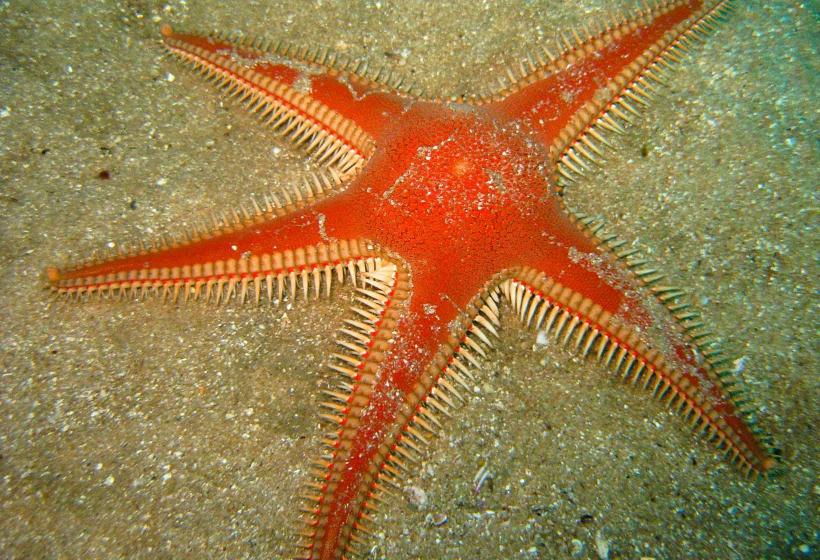 Estrela-do-mar-pente » Invertebrados » Exposição ...