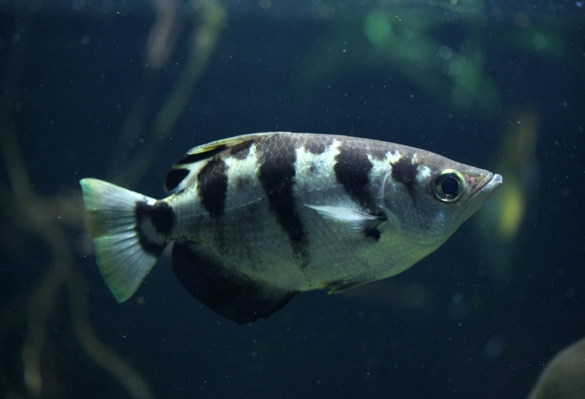 Banded archerfish ? Fishes ? Permanent exhibition ? Exhibitions ...