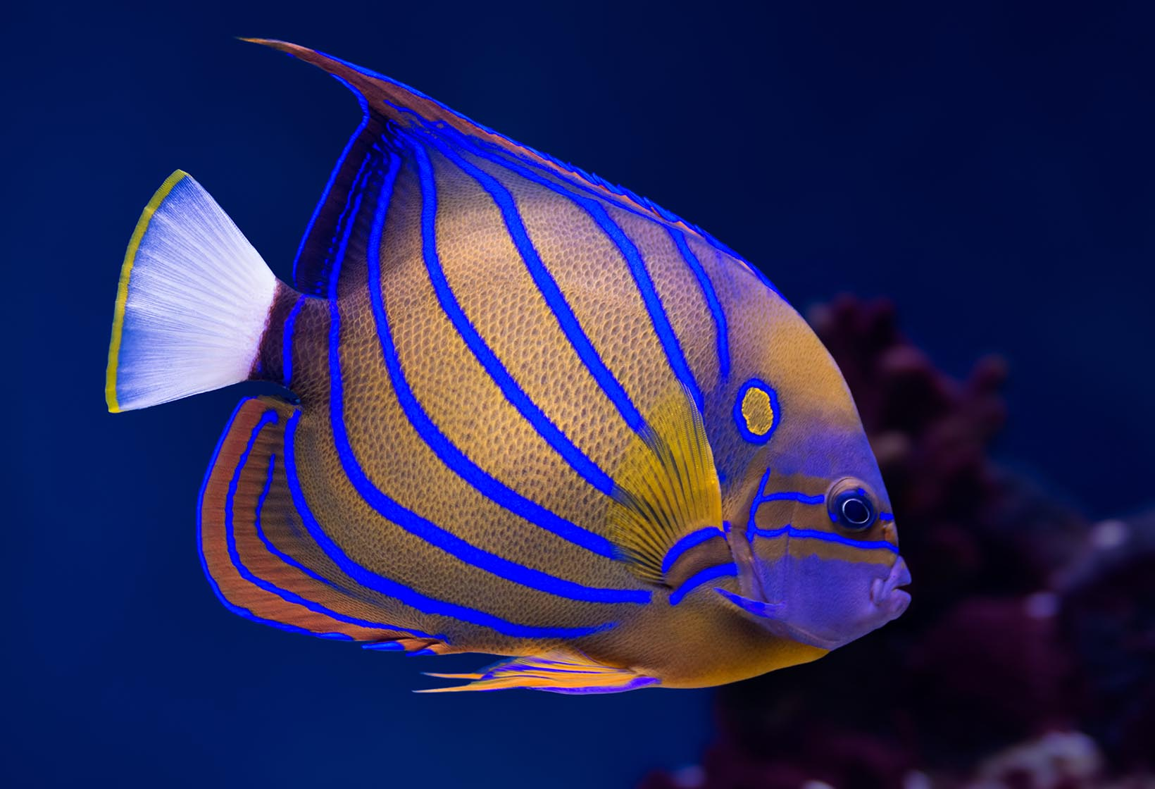 Bluering angelfish fishes permanent exhibition for Tropical fish images