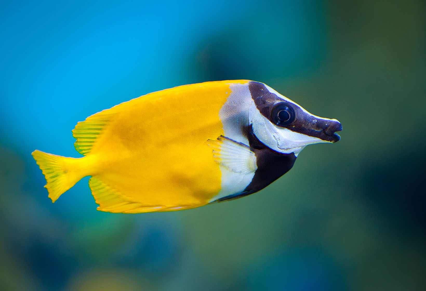 Foxface rabbitfish fishes permanent exhibition for Fox face fish